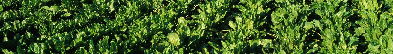 Betterave-A-sucre_jardin_des_plantes